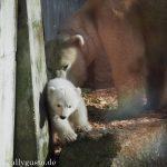 Das Eisbärbaby im Tierpark Hellabrunn in München